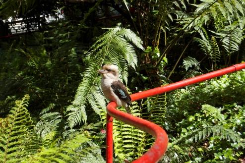The Kookaburra at Churangi Cafe
